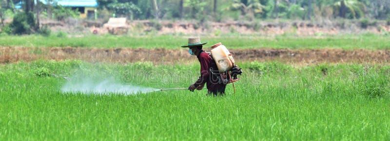 Inseticida de pulverização do fazendeiro no campo verde do arroz imagem de stock
