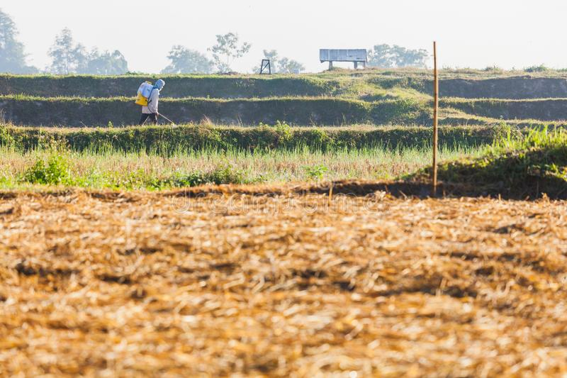 Inseticida de pulverização do fazendeiro no ricefield colhido imagem de stock