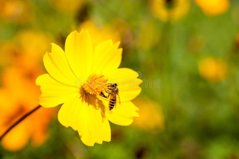 Inseto da abelha na flor bonita no campo Macro fotos de stock royalty free