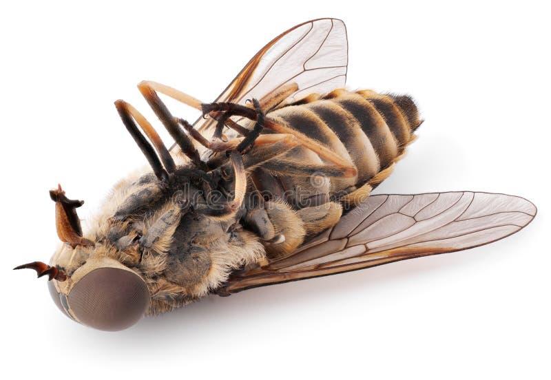 Inseto da mosca isolado no fundo branco foto de stock
