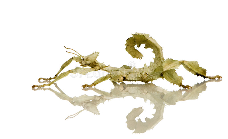 Inseto de vara, Phasmatodea - tiaratum de Extatosoma fotos de stock royalty free