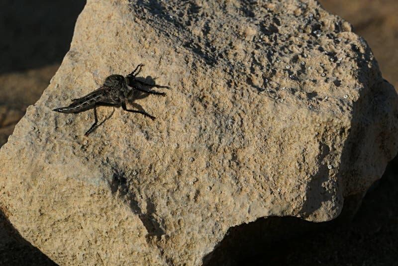 Inseto de voo carnívoro do coloure cinzento escuro, propably da família do Odonata da libélula fotos de stock royalty free