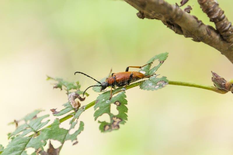 Inseto do besouro de Brown Stictoleptura Rubra na folha da árvore fotografia de stock royalty free