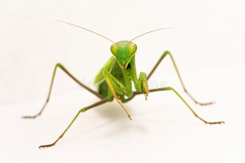 Inseto do Mantis Praying foto de stock royalty free