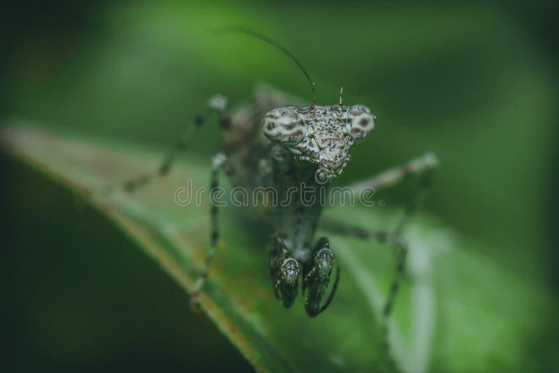 Inseto do Mantis Praying foto de stock