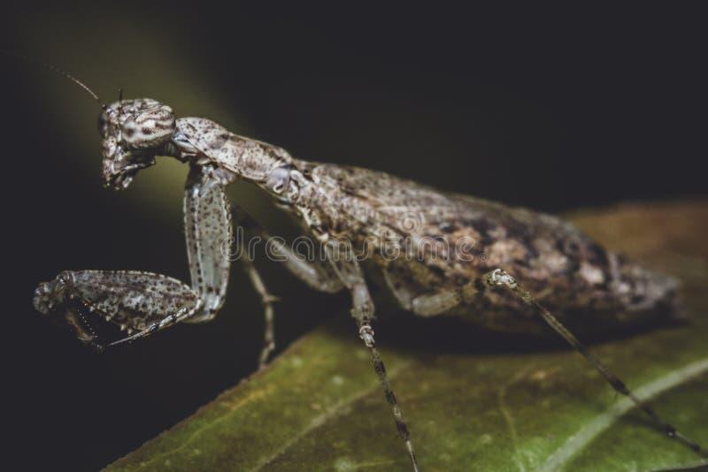 Inseto do Mantis Praying fotografia de stock