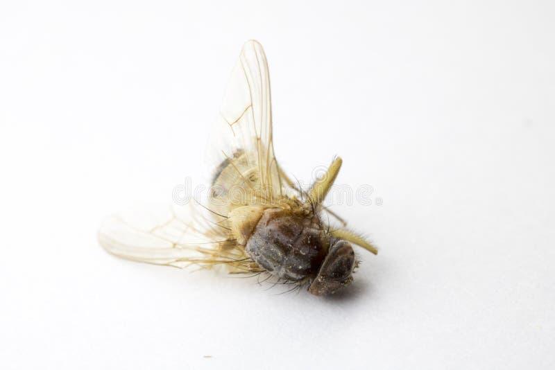 Inseto inoperante da mosca no fundo branco imagem de stock royalty free