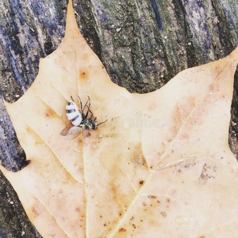 Inseto inoperante em uma folha seca imagens de stock