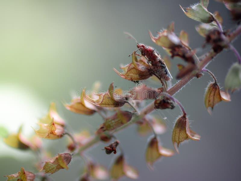 Inseto pequeno mesmo macro super em flores secadas da manjericão Foco macio fotografia de stock