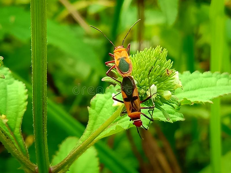 Inseto um besouro de senhora mexicano alaranjado minúsculo masculino adulto do feijão, erro da senhora, artrópodes do pássaro da  fotos de stock royalty free