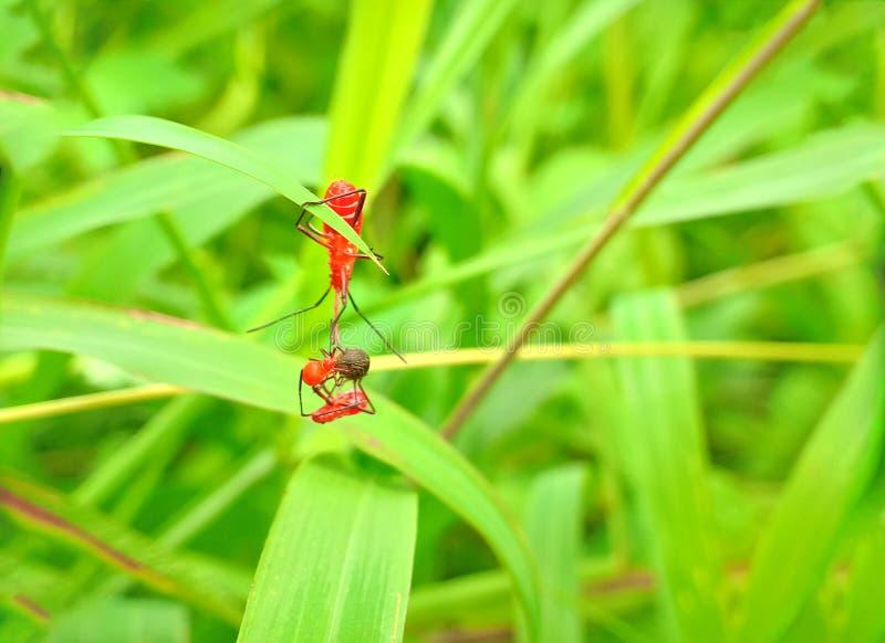 Inseto um besouro de senhora mexicano alaranjado minúsculo masculino adulto do feijão, erro da senhora, artrópodes do pássaro da  fotografia de stock