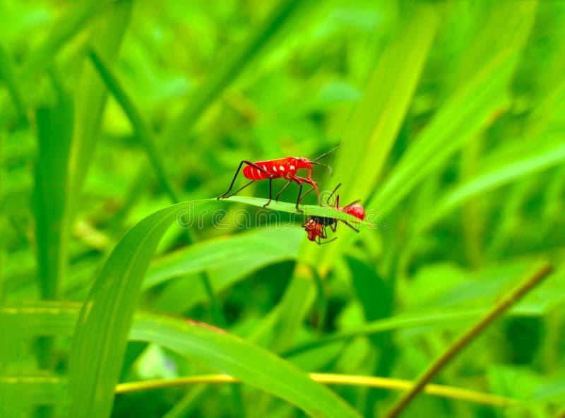 Inseto um besouro de senhora mexicano alaranjado minúsculo masculino adulto do feijão, erro da senhora, artrópodes do pássaro da  fotografia de stock royalty free