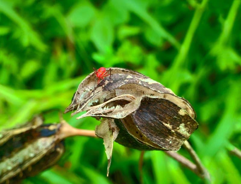 Inseto um besouro de senhora mexicano alaranjado minúsculo masculino adulto do feijão, erro da senhora, artrópodes do pássaro da  imagens de stock