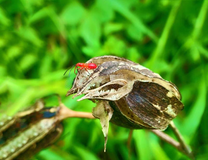 Inseto um besouro de senhora mexicano alaranjado minúsculo masculino adulto do feijão, erro da senhora, artrópodes do pássaro da  fotos de stock