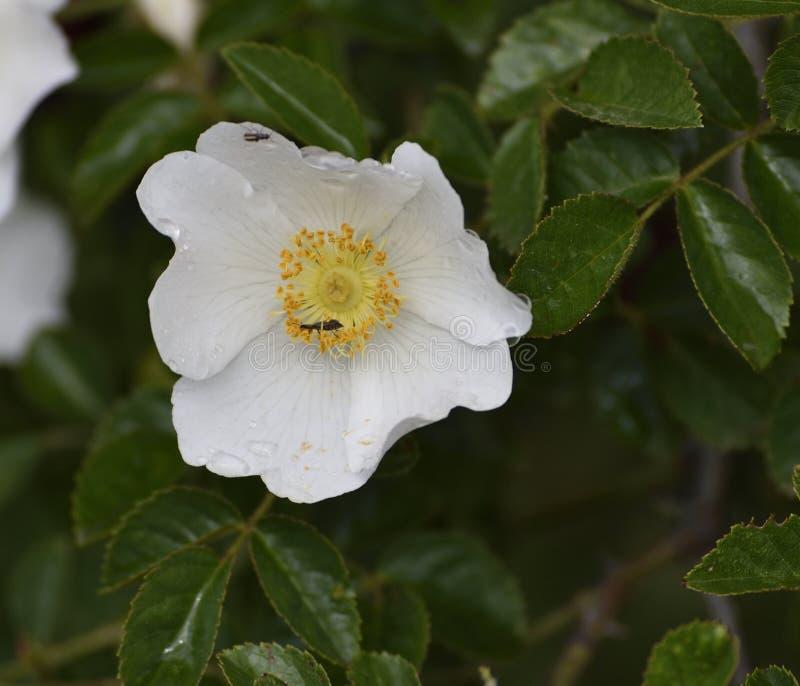Insetos em uma flor com as gotas de orvalho na mola imagem de stock royalty free