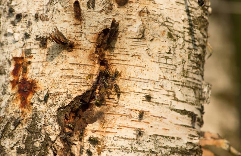 Insetos que bebem o suco da árvore de vidoeiro imagens de stock