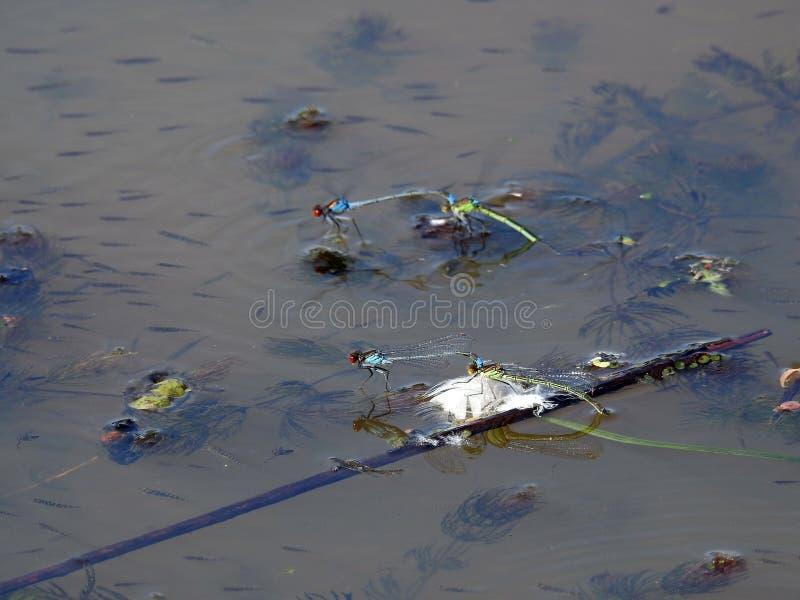 Insetti della libellula che galleggiano sull'acqua fotografia stock