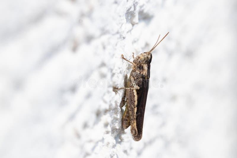 Insetti ed animali Fuoco selettivo su un grashopper marrone o locusta su una parete bianca Macro fotografia stock libera da diritti