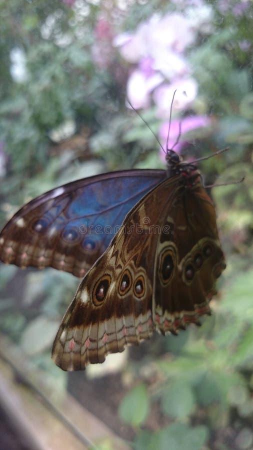 Insetto del blu della natura della farfalla fotografie stock