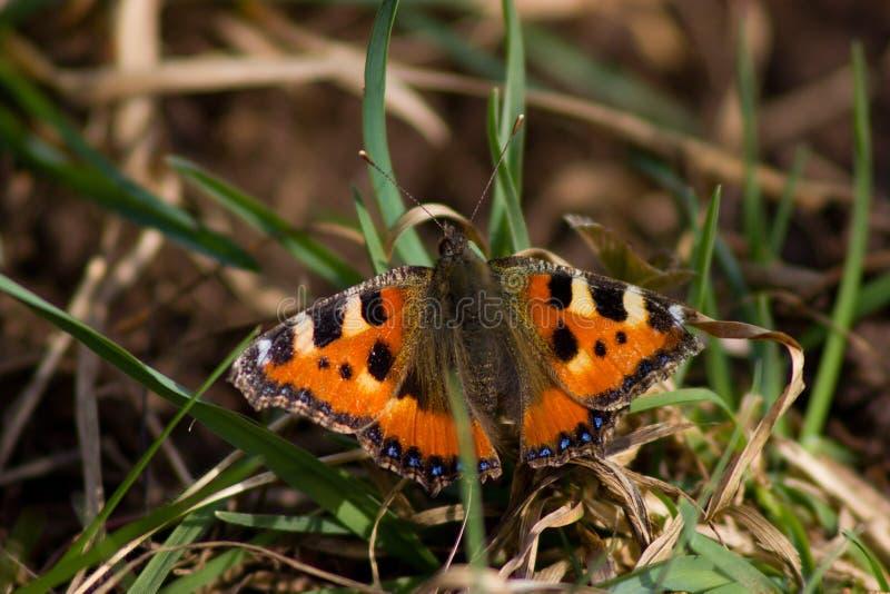 Insetto dell'animale della natura della farfalla fotografia stock