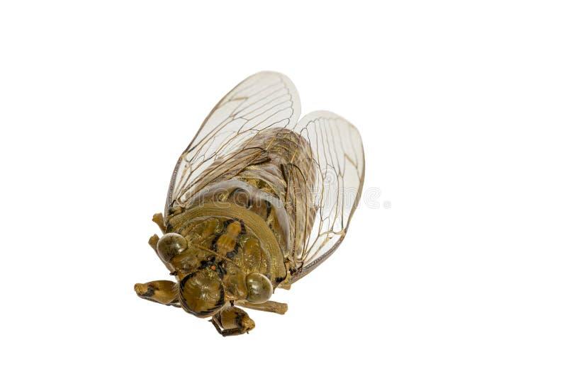 Insetto della cicala isolato fotografia stock