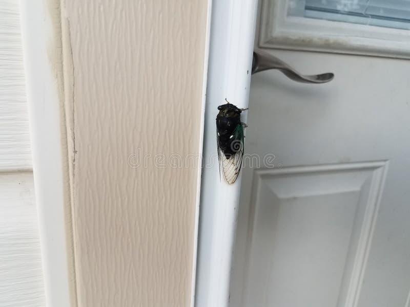 Insetto della cicala vicino alla porta bianca sulla casa fotografia stock
