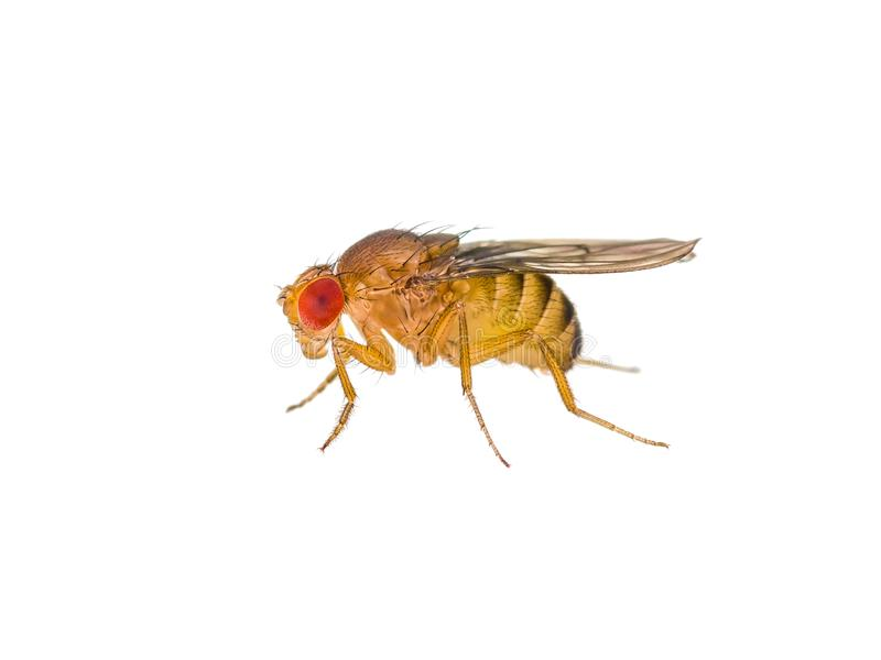 Insetto della mosca della frutta della drosofila isolato sulla macro bianca fotografia stock