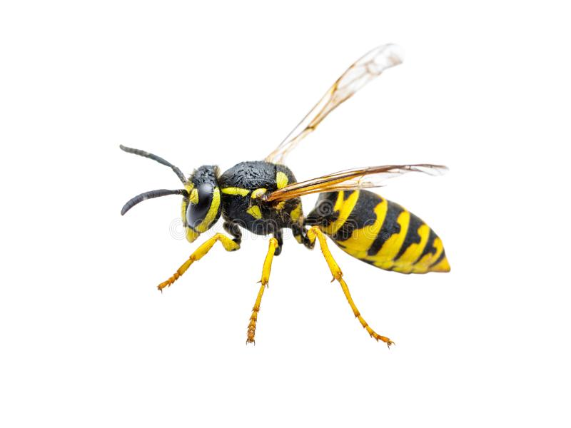 Insetto della vespa del rivestimento giallo isolato su bianco fotografia stock