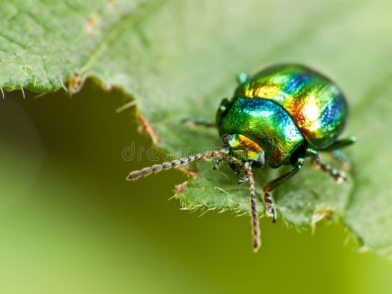 Insetto dello scarabeo su una foglia immagine stock