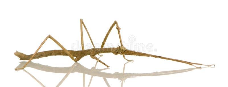 Insetto di bastone, Phasmatodea - extradenta di Medauroidea fotografia stock libera da diritti