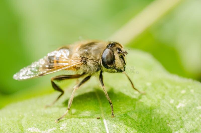 Insetto di lavoro dell'ape fotografia stock