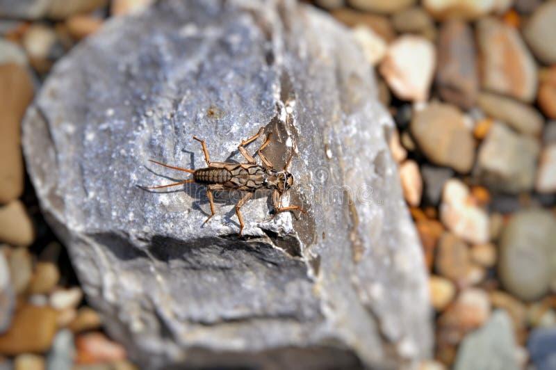Insetto - i caddis della larva volano (plecoptera) immagini stock