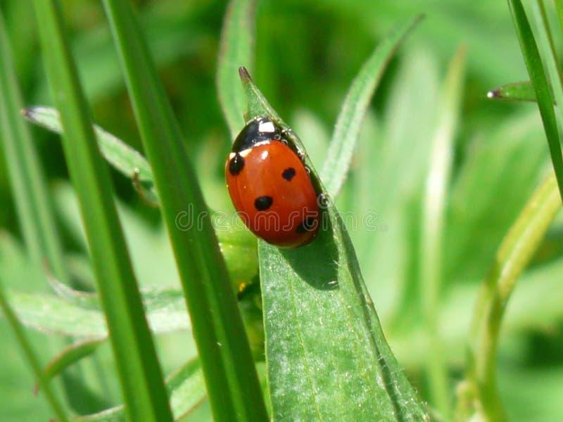Insetto, Ladybird, scarabeo, fauna immagini stock libere da diritti