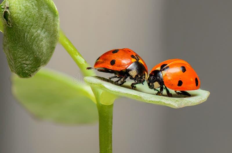 Insetto, Ladybird, scarabeo, macrofotografia immagine stock libera da diritti