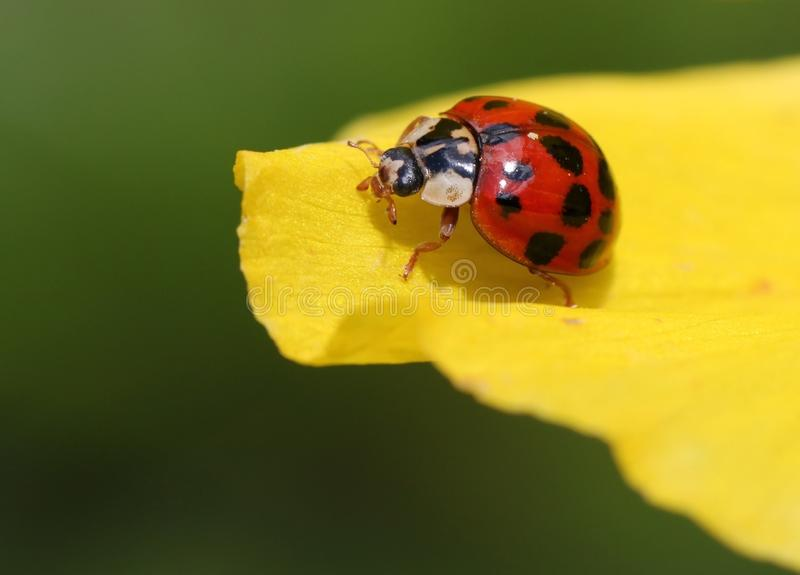 Insetto, Ladybird, scarabeo, macrofotografia fotografia stock