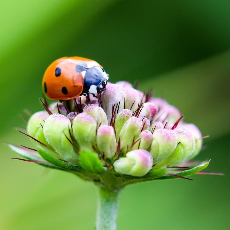 Insetto, macrofotografia, Ladybird, fine su fotografia stock