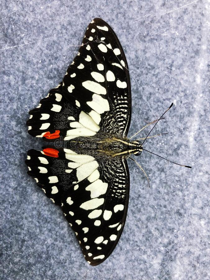 Insetto nero della farfalla, bello modello bianco fotografia stock