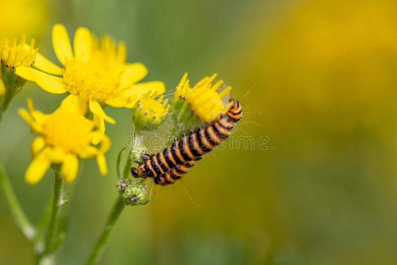 Insetto nero e giallo del trattore a cingoli sul fiore giallo immagine stock