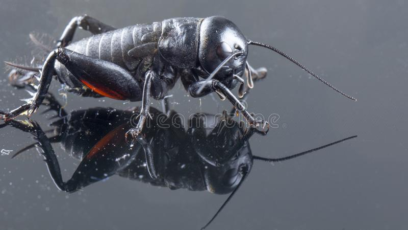 Insetto o Gryllidae del cricket isolato su una fine nera del fondo su fotografia stock
