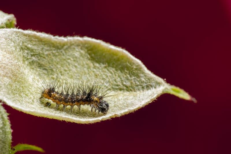 Insetto in pianta (arthropoda) immagini stock