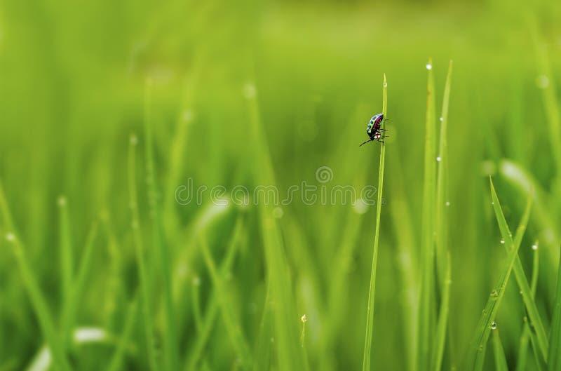 Insetto pieno di colore su erba dopo pioggia fotografia stock libera da diritti