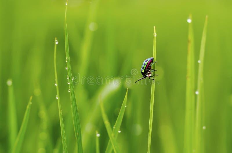 Insetto pieno di colore su erba dopo pioggia immagine stock libera da diritti