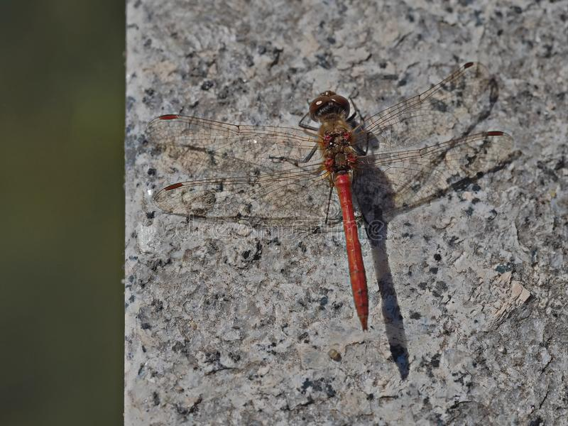 Insetto rosso della libellula atterrato sull'angolo di marmo fotografia stock libera da diritti
