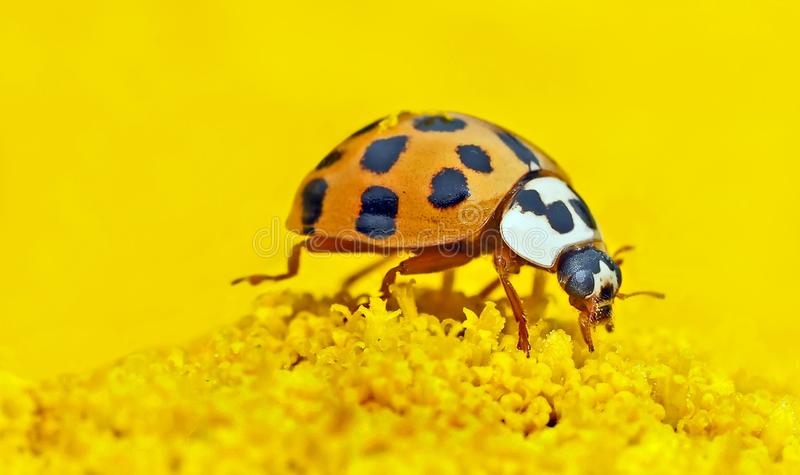 Insetto, scarabeo, invertebrato, Ladybird immagine stock libera da diritti