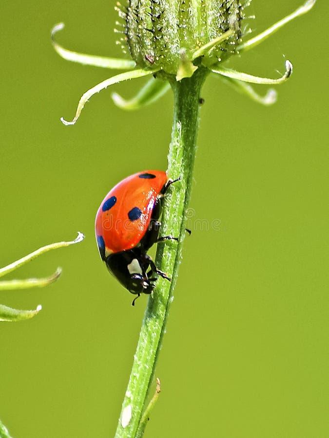 Insetto, scarabeo, Ladybird, macrofotografia fotografia stock