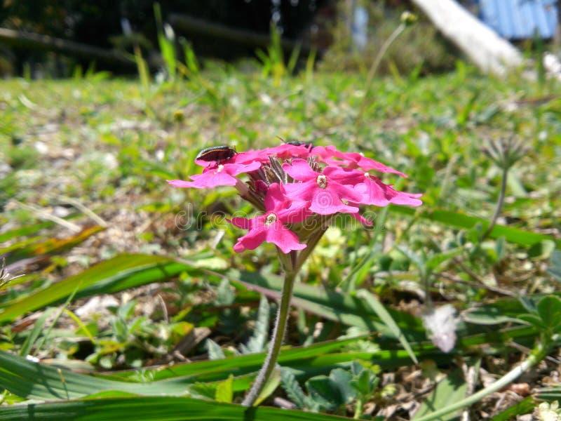 Insetto sui fiori rosa immagini stock libere da diritti