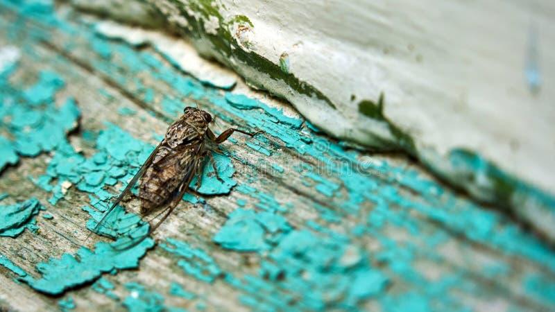 Insetto verde della cicala su all'aperto di legno Soci fotografie stock