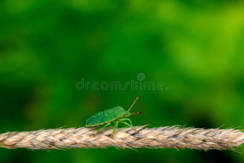 Insetto verde di puzzo sul fondo vago del bokeh immagini stock