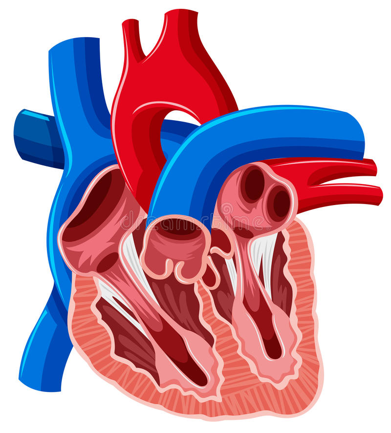 Inside diagram ludzki serce ilustracja wektor