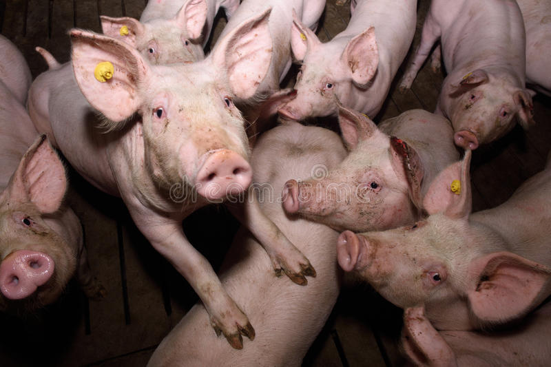 Inside of a farm of pigs. Looking at camera stock image